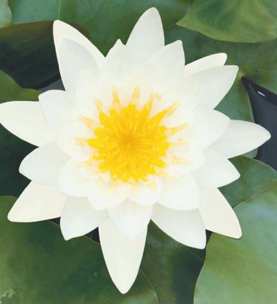 shampoo e balsamo ultra dolce alla mandorla dolce e fiori di loto 3